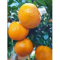 Mandarina Chahara