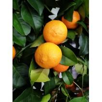 Mandarina Satsuma Miyagawa