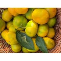 Mandarina Zorica rana