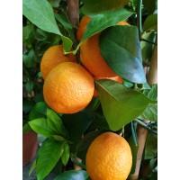 Pomaranča Navelina