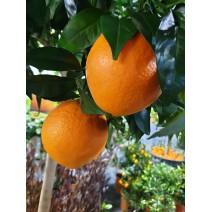 Pomaranča Tarocco rosso