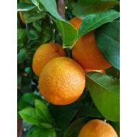 Pomaranča Washington Navel