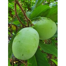 Asimina Allegheny Peterson Pawpaw®