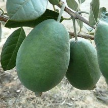 Feijoa sellowiana - Gemini