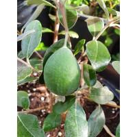 Feijoa sellowiana - Mamouth