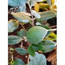 Feijoa sellowiana - Triumph
