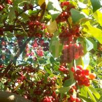 Kobulasta oljčica sorta Pointilla Amoroso