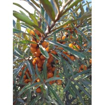 Rakitovec - Friesdorfer Orange