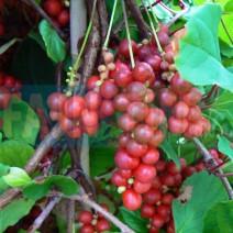 Šisandra - Schisandra chinensis