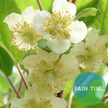 Kivi Tomury Actinidia chinensis 0,5 l