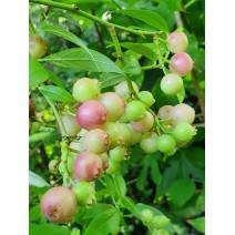 Ameriška borovnica Pink Blueberry C3