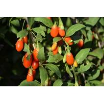 Goji jagoda rdeče plodna