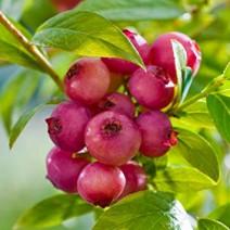 "Ameriška borovnica ""Pink Blueberry"" C7,5"