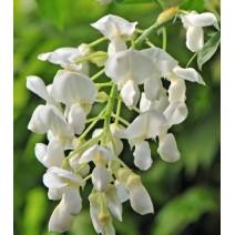 Wisteria glicinija White silk