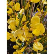 Cytisus praecox 'Allgold'