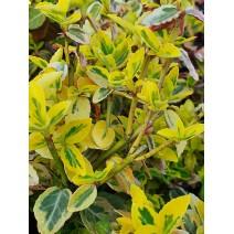 Euonymus - Plazeča trdoleska 'Emerald 'n' Gold'