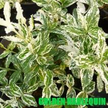 Euonymus - Plazeča trdoleska 'Golden Harlequin'®