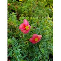 Potentilla-Petoprstnik 'Bellissima'®