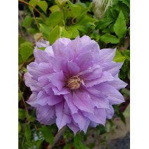 Srobot - Clematis 'Belle of Woking'