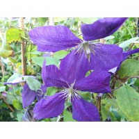 Srobot - Clematis 'Blue Sensation'