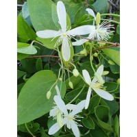 Srobot - Clematis 'Early Snow'