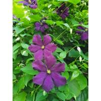 Srobot - Clematis 'Etoile Violette'