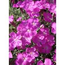 Trajnica Dianthus 'Amarant'