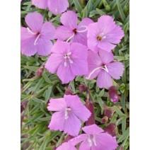 Trajnica Dianthus grat. 'La Bourboule'