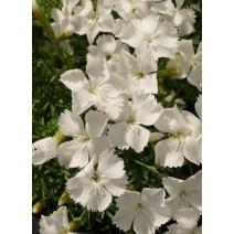 Trajnica Dianthus grat. 'La Bourboule White'
