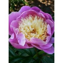 Trajnica Paeonia lactiflora 'Bowl of Beauty'