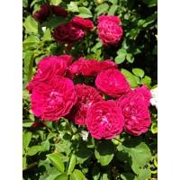 Vrtnica Chevy Chase