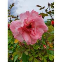 Vrtnica Clair Matin