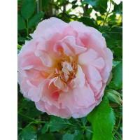 Vrtnica Emelie