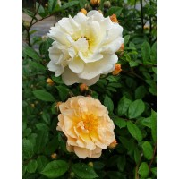 Vrtnica Ghislaine de Féligonde