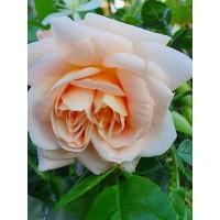 Vrtnica Morgengruss