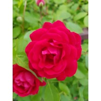 Vrtnica Paul's Scarlet Climber