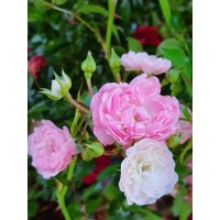 Vrtnica The Fairy