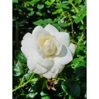 Vrtnica White New Dawn