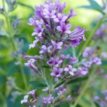 Buddleja alternifolia 'Unique'® - metuljnik