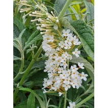 Buddleja 'White Ball' - metuljnik