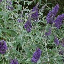 Buddleja 'Lochinch' - metuljnik