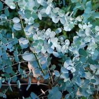 Evkaliptus - Eucalyptus gunnii