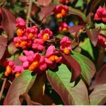 Euonymus  (Trdoleska) 'Red Cascade'