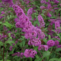 Buddleja 'Border Beauty'