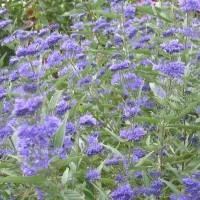 Caryopteris cland. 'Heavenly Blue'