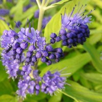 Caryopteris cland. 'Worcester Gold'
