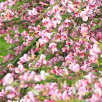 Cytisus 'Moyclare Pink'