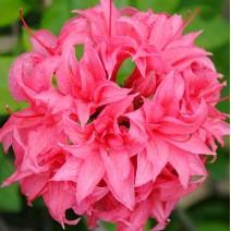 Rododendron 'Homebush'