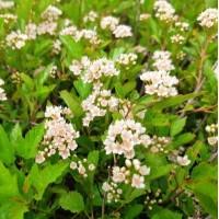 Physocarpus-Pokalec 'Little Greeny'®