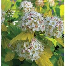 Physocarpus-Pokalec 'Nugget'
